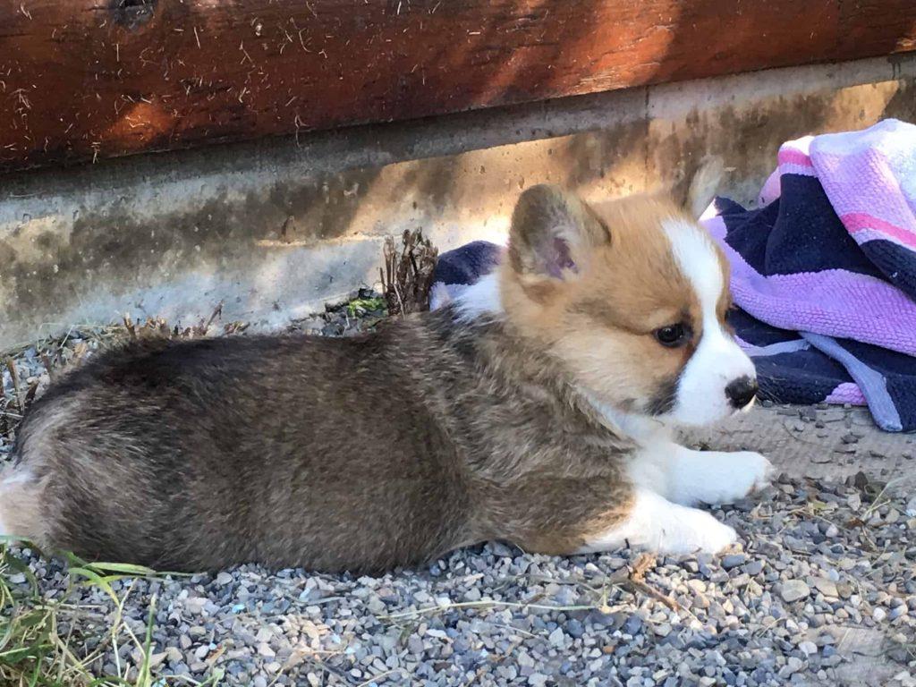 Corgi puppy Alberta